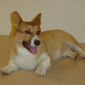 Welsh Corgi.PNG