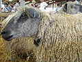 Wensleydale sheep, Suffolk Show.jpg