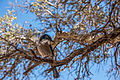 Western Scrub Jay (Aphelocoma californica) (17056404742).jpg