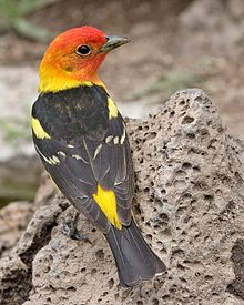 Image of: Missouri Western Tanager Wikipedia Western Tanager Wikipedia
