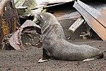 Whalers Bay Deception Island Antarctica Fur Seal (46613850284).jpg