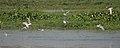 Whiskered Tern (Chlidonias hybridus) hunting in Kolleru, AP W IMG 4019.jpg