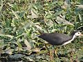 White-breasted Waterhen (Jal Mugi) in a pond 2.jpg
