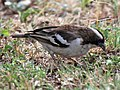 White-browed Sparrow Weaver RWD4.jpg