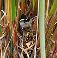 White-browed Wagtail (Motacilla maderaspatensis) at nest with the chicks W IMG 2643.jpg