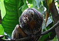 White-faced Saki Monkey (15121228209).jpg