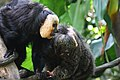 White-faced Saki Monkey (15121396538).jpg