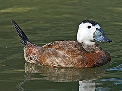 White-headed Duck (Oxyura leucocephala) RWD1.jpg