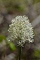 White Baneberry (Actaea pachypoda) - Mississauga, Ontario 2015-05-14 (01).jpg