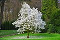 White Cherry tree - panoramio.jpg