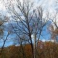 White Oak (30980792886).jpg