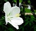 White Texas Star hibiscus -- Hibiscus coccineus.jpg