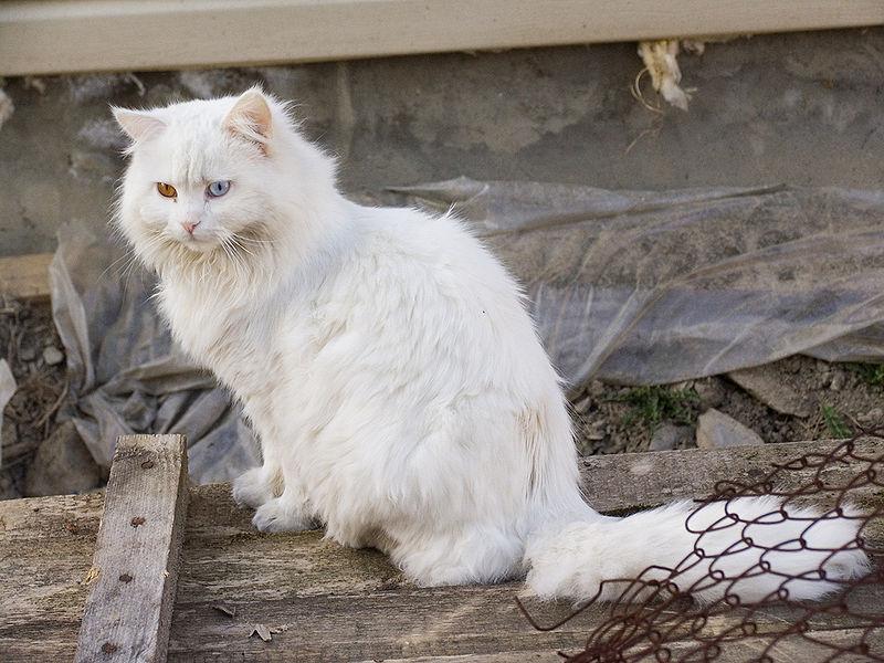 gatitos blancos: salud, cuidados y... fotos!!!