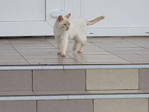 White cat from Sevsk (2).JPG