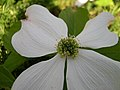 White dogwood flower.jpg