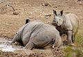 White rhinoceros or square-lipped rhinoceros, Ceratotherium simum. (17163406410).jpg