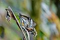 White tiger male butterfly.jpg