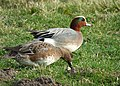 Widgeon pair (Anas penelope) (33796806896).jpg