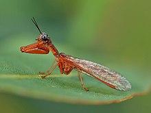 Seltsam schön - Ein Mantisfly (4108130071).jpg