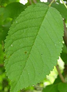 Wild Cherry Leaf 600.jpg