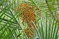 Wild Date Palm (Phoenix reclinata) fruits (16784628661).jpg