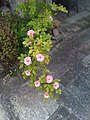 Wild Roses on the North Terrace - panoramio.jpg