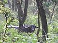 Wild water Buffalo (Bubalus arnee) at Koshi Tappu Wildlife Reserve, Nepal.jpg