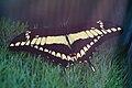Wilhelma Königs-Schwalbenschwanz Papilio thoas 0534.jpg