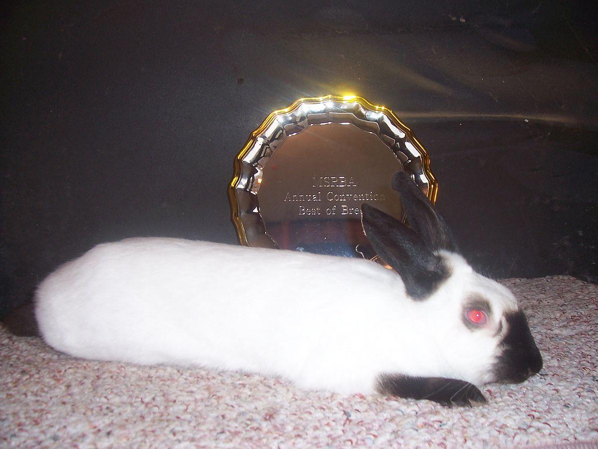 Himalayan rabbit  Wikipedia