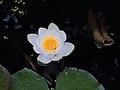 Witte waterlelie (Nymphaea alba) 02.JPG