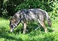 Wolf Canis lupus lupus Tierpark Hellabrunn-3.jpg
