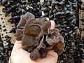 Wood ear mushroom harvest 2.jpg