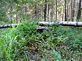 Woodlot NW of Kornilovo - whortleberries - DSCF5599.JPG
