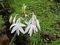 Woodrow's lily (3689566043).jpg