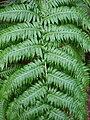Woodwardia radicans anaga14.jpg