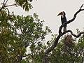 Wreathed Hornbill IMG 5504 02.jpg