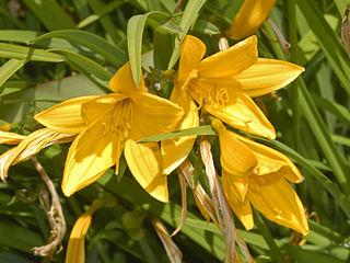 <i>Hemerocallis citrina</i> Species of flowering plant