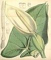Xanthosoma sagittifolium 1.jpg