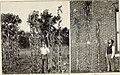 Xenia, or the immediate effect of pollen, in maize (1900) (14586310170).jpg