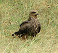 Yellow-billed Kite (juvenile), Ngorongoro.jpg