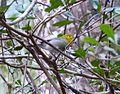 Yellow-headed Warbler. Teretistris fernandinae. Endemic - Flickr - gailhampshire (2).jpg
