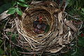 Yellow-vented bulbul nest.jpg