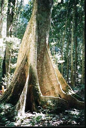 Sloanea woollsii - Yellow carabeen at Werrikimbe National Park