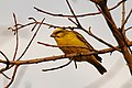Yellow fronted canary1.jpg