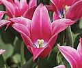 Yonina Tulip.jpg