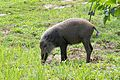 Young Bornean Bearded Pig (27581236906).jpg