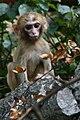 Young Rhesus Macaque.jpg