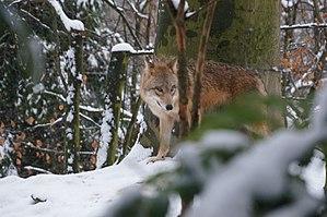 Mongolian wolf - Mongolian wolf in fresh snow
