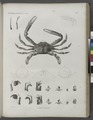 Zoologie. Crustacés. Crabes-nageurs (NYPL b14212718-1268552).tiff