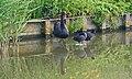 Zwarte zwaan , meerkoeten (48641286002).jpg